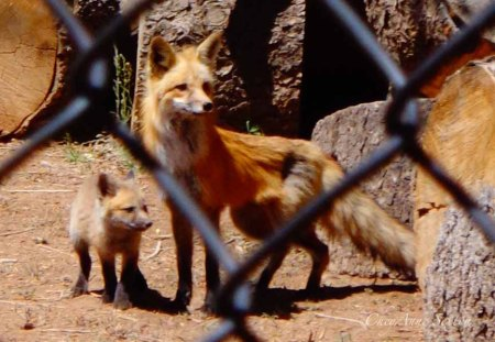 sweet little fox family