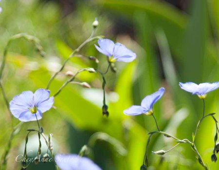 some more blue flax