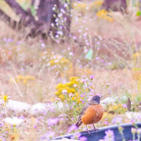 robin in my yard