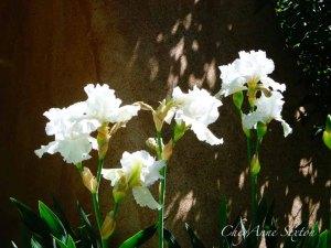White Iris by CheyAnne Sexton