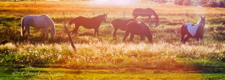Golden Ponies in the Evening Glow of Sunset photography