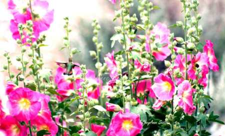 Chuparosa Checkin' Out All Those Pink Hollyhocks by CheyAnne Sexton