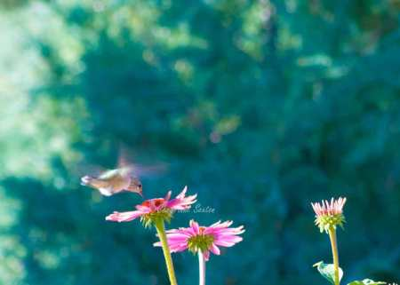 Teal Pink Hummingbird dancing over Purple flowers
