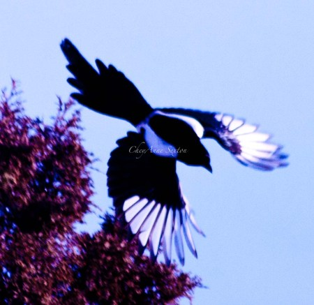 wmmagpie swoop closer